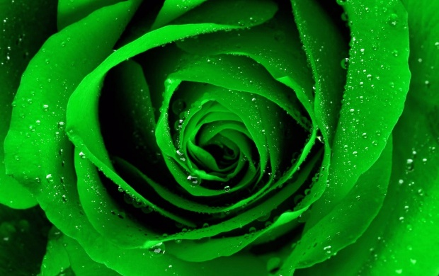 Light Green Rose (click to view)