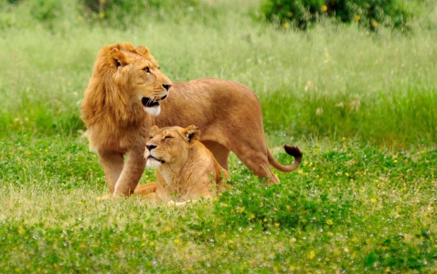 Lion And Lioness (click to view)