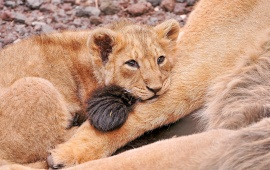 Lion Cub Looking Sad
