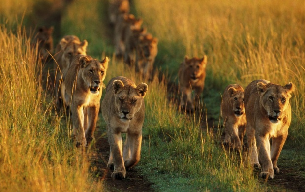 Lion Family Running In Lions (click to view)