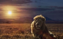 Lion Nature Sunset