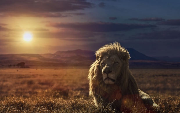 Lion Nature Sunset (click to view)