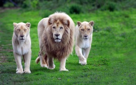Lion With Two Lioness