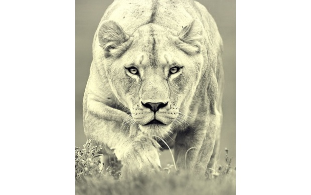 Lioness (click to view)