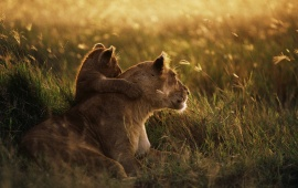 Lioness Family In Meadow