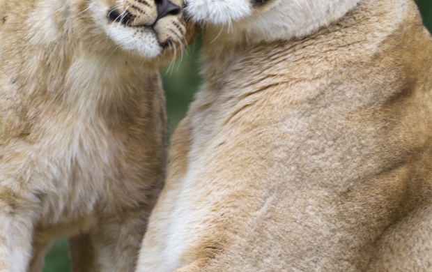 Lioness Lion Cub (click to view)