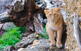 Lioness Posing Against The Cliff