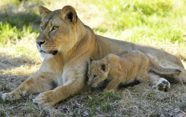 Lioness With Her Cute Baby Cub