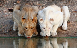 Lionesses White Drinking