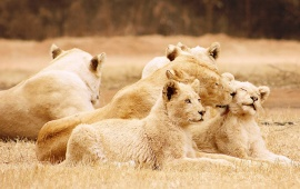 Lions Happy Family