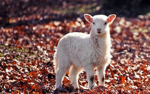 Little Lamb (click to view)