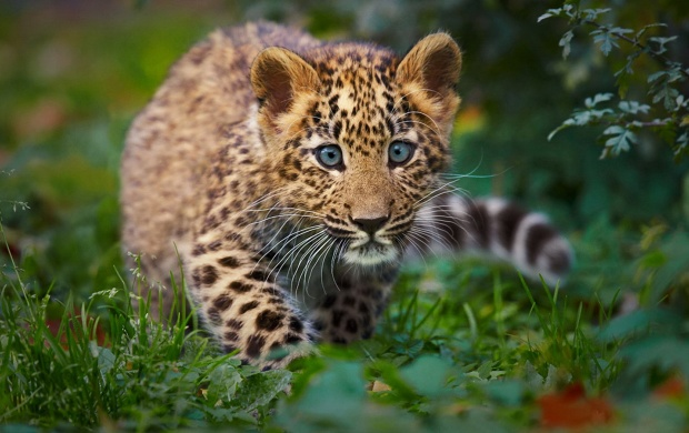 Little Leopard (click to view)