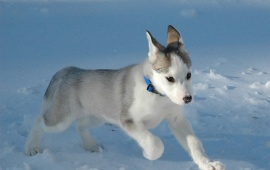 Little Siberian Husky Dog