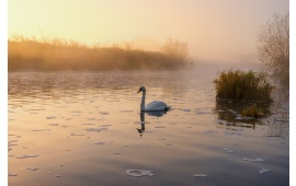 Lonely Swan On Misty Lake