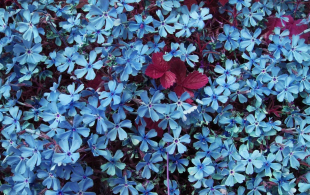 Lots of Blue Flowers (click to view)