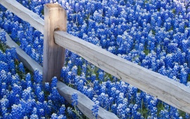 Lots of Blue Flowers and a Fence