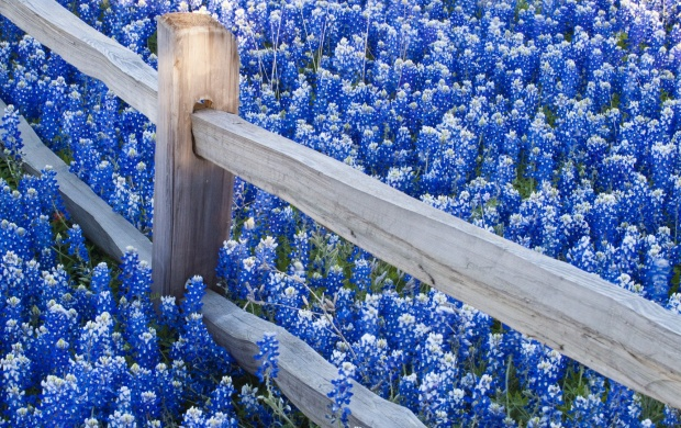 Lots of Blue Flowers and a Fence (click to view)