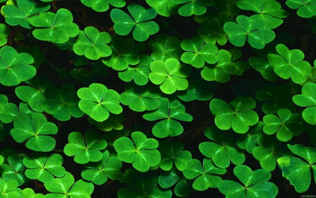Lots of Clovers (click to view)