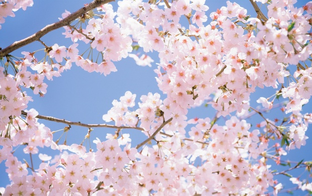 Lots of Pink Cherry Blossom (click to view)