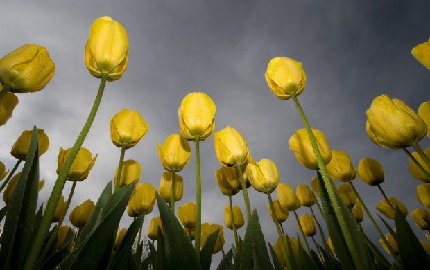 Lots Of Yellow Tulips (click to view)