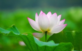 Lotus Flowers Leaves Petals