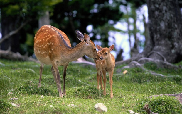 Love among Deers (click to view)