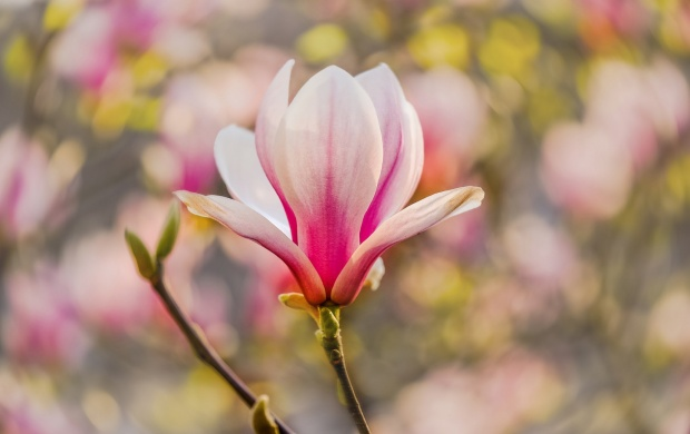 Magnolia Flower Branch (click to view)