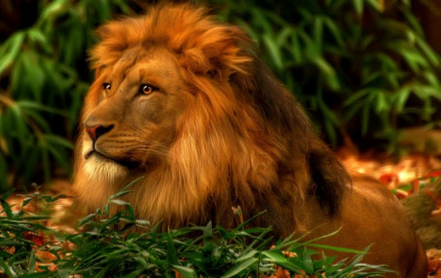 Majestic Lion Wallpapers