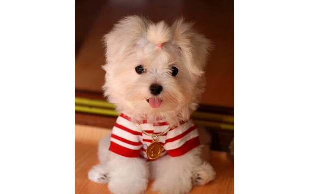 Maltese Dogs (click to view)