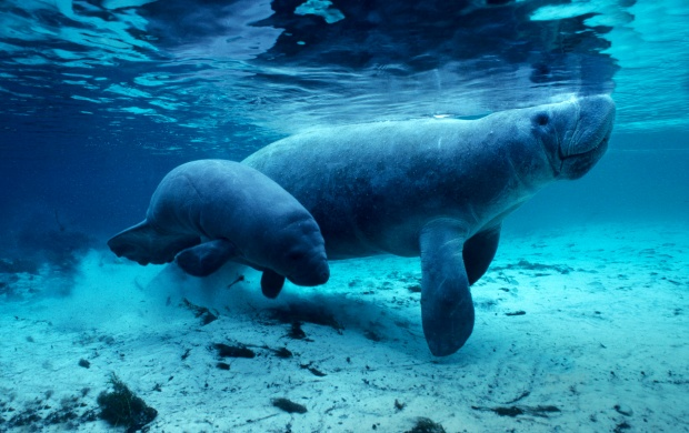 Manatees Water (click to view)
