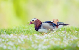 Mandarin Duck Bird Field
