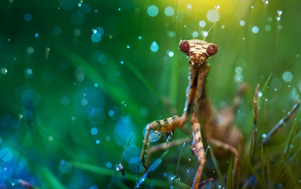 Mantis On Grass (click to view)