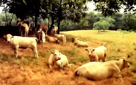 Many Cows Resting At Pasture
