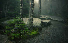 Misty Day In The Forest