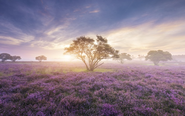 Misty Lavender Field (click to view)