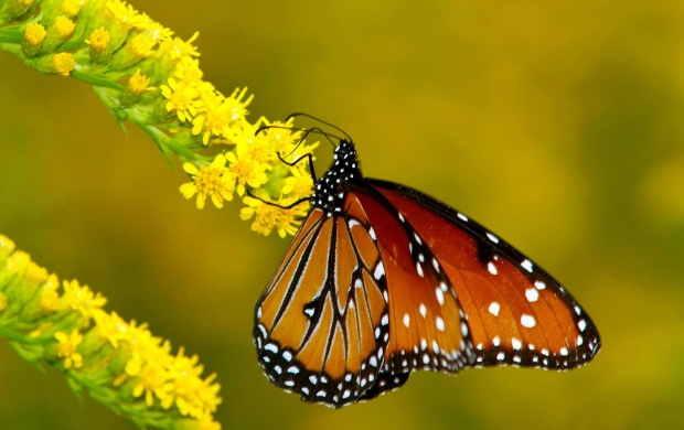 Monarch Butterflies On Flowers (click to view)