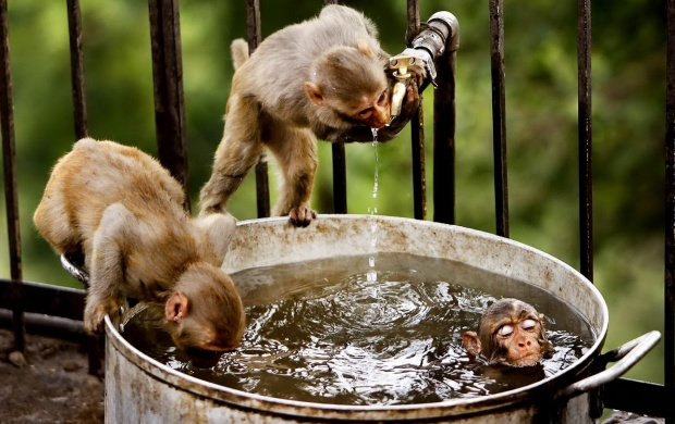 Monkeys In Water (click to view)