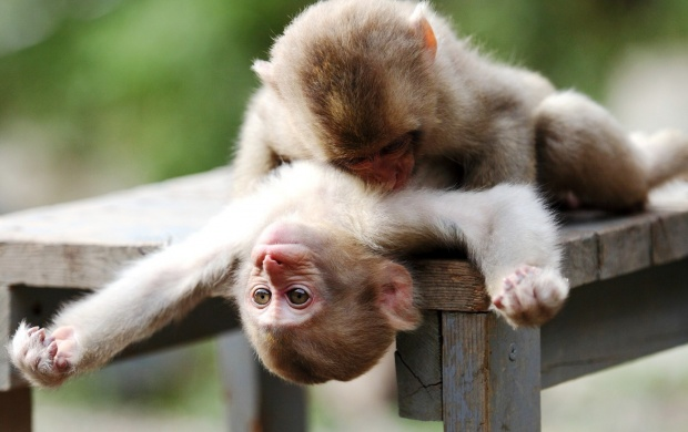 Monkeys Play (click to view)
