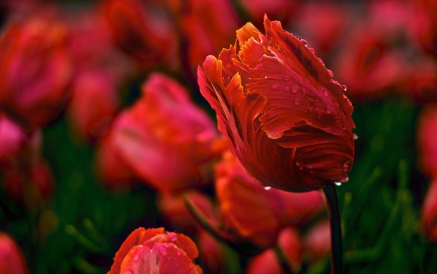 Morning Flowers Tulips Spring Dew (click to view)