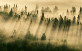 Morning Forest Fog