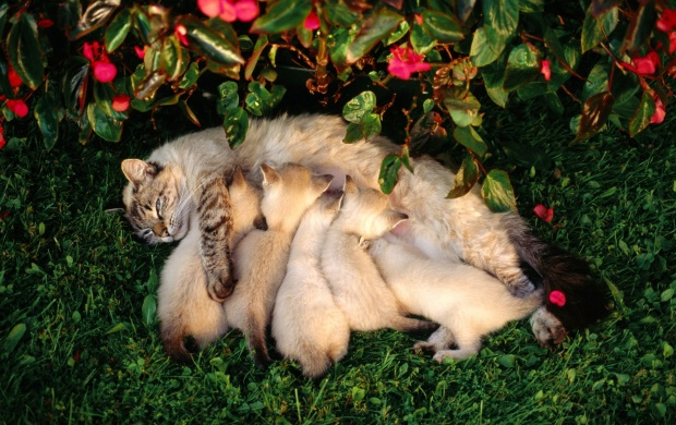 Mother Cat Kittens Drinking Milk (click to view)