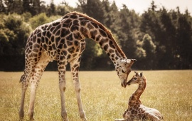 Mother Giraffe Baby Giraffe