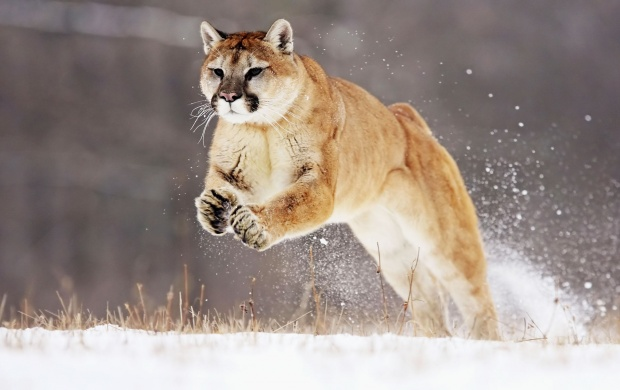 Mountain Lion (click to view)