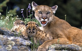 Mountain Lion With Cub
