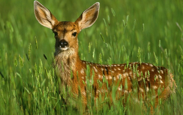 Mule Deer Fawn (click to view)