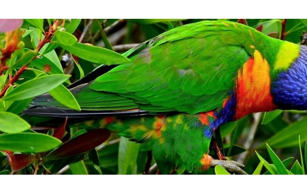 Multicolor Lorikeet  Parrot (click to view)