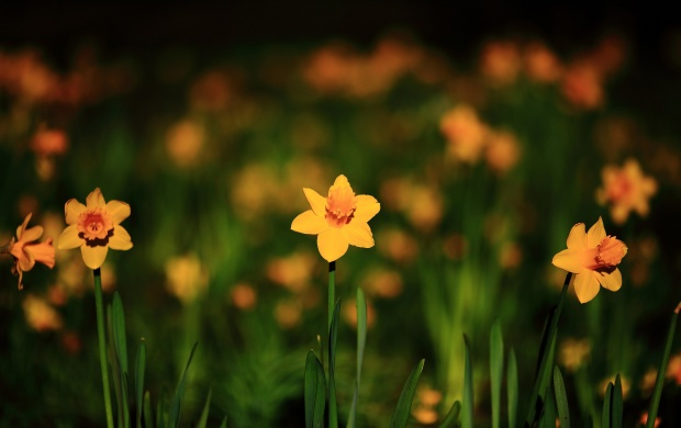 Narcissus Yellow Flowers Spring Bokeh (click to view)