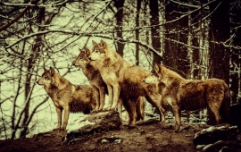 Nature Wolves