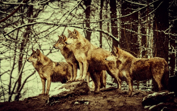 Nature Wolves (click to view)