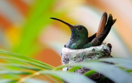 Nest Hummingbird Bird